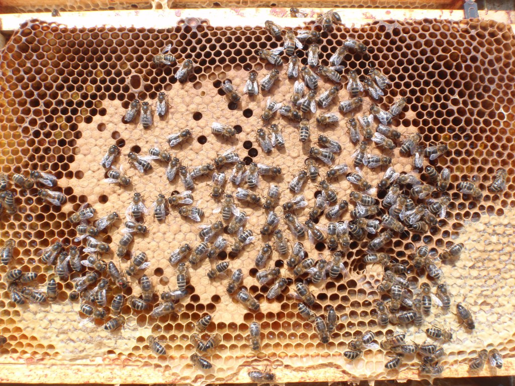 New Red Queen pictured sitting on edge of sealed brood at about the 7 o'clock position