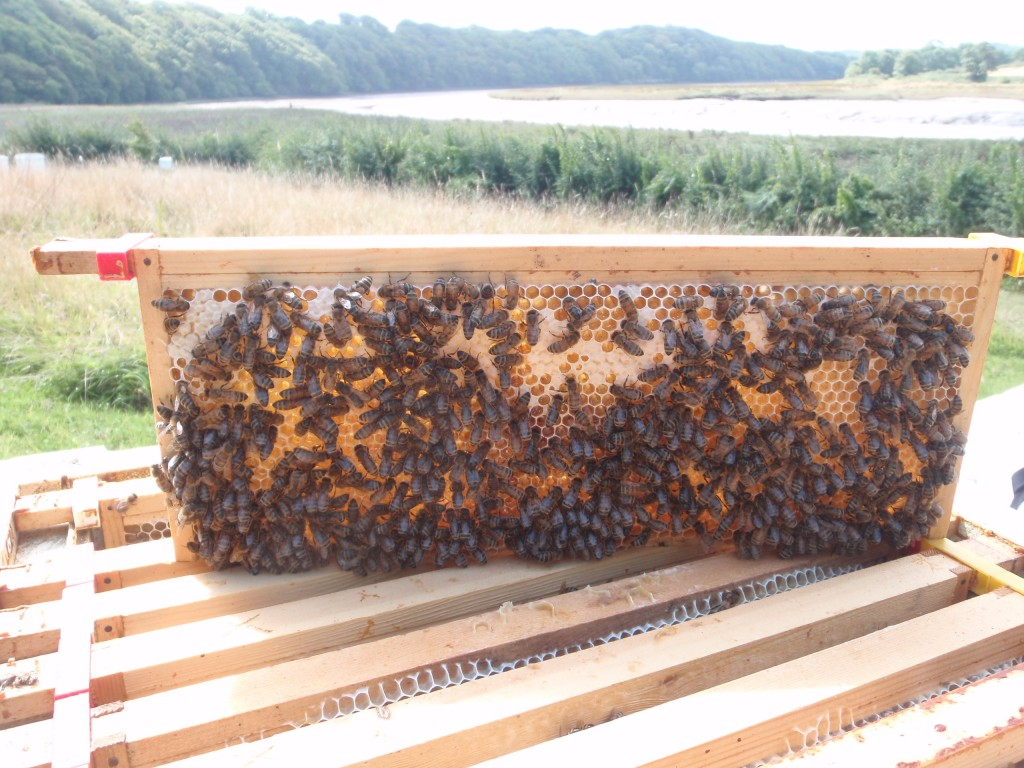 Mid August Honey being laid down